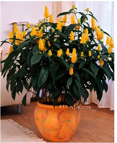 Cây hoa Long thủ vàng