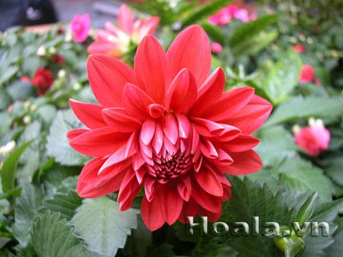 Hoa Thược Dược Lùn Mỹ