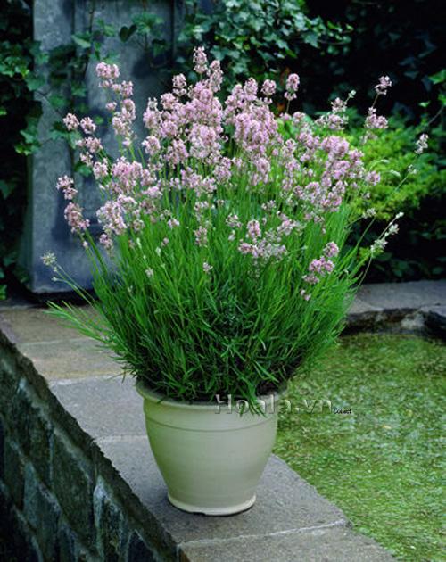 Hoa Oải hương - hoa Lavender