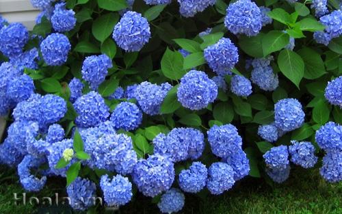 Hoa cẩm tú cầu