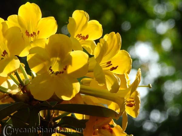 Hoa đỗ quyên