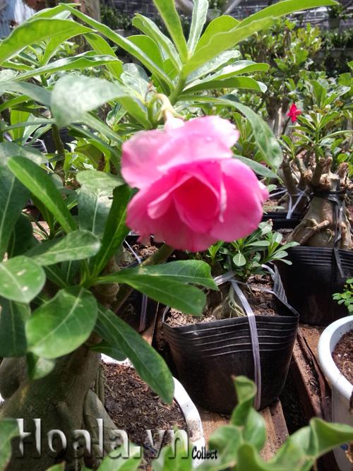 Hoa sứ Thái cánh kép