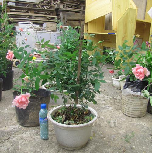 Hồng leo nữ hoàng phấn hồng hương thơm