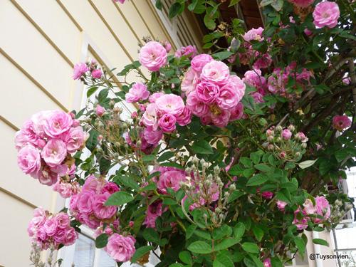 Hoa hồng leo tầm xuân