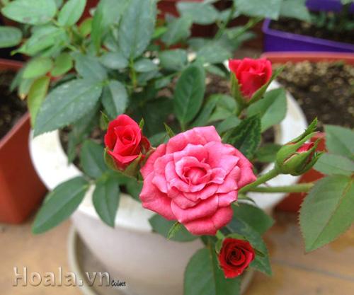 Hoa hồng lai màu đỏ