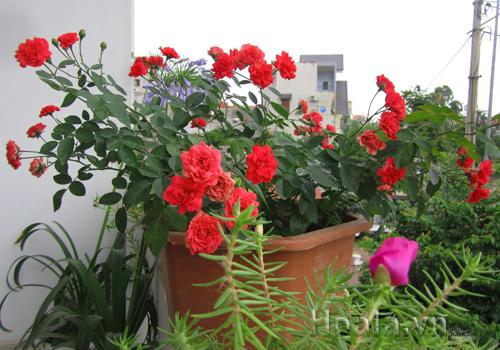Hoa hồng pretty đỏ