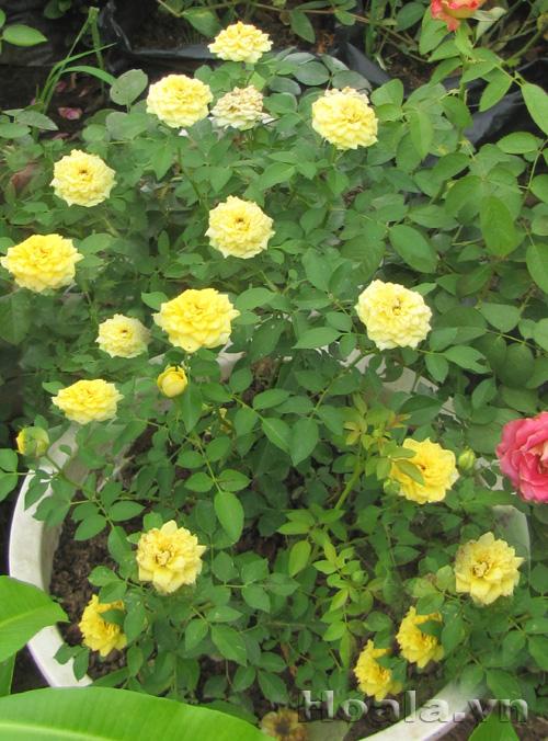 Hoa hồng pretty vàng