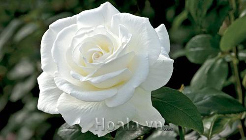 Hoa hồng bạch truyền thống
