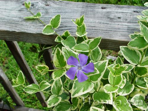 Cây hoa Cẩm thạch