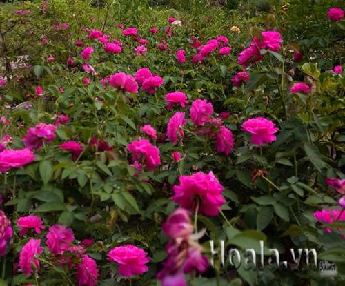 Hồng leo chuyển màu theo mùa hương thơm