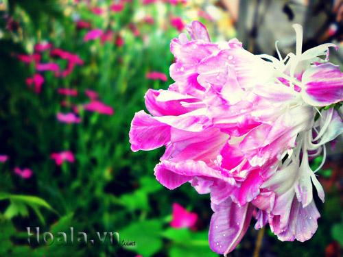 Hoa leo teen kép