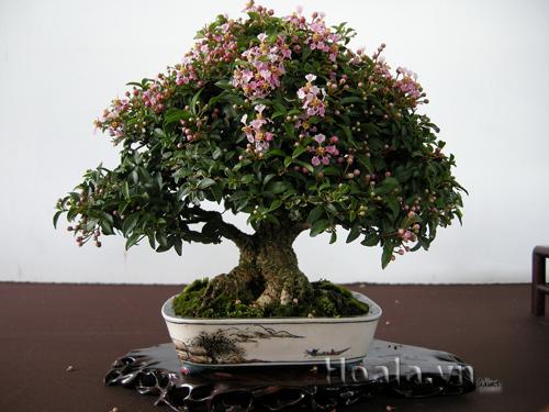 Cây hoa hồng ngọc trà