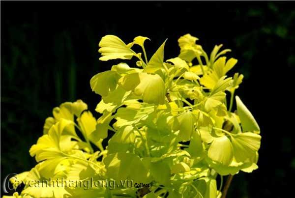 Cây ngân hạnh - rẻ quạt - bạch quả - thu vàng