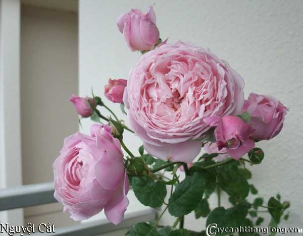 Hoa hồng leo Nguyệt Cát 37