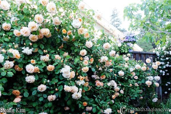 Hoa hồng leo Hoàng Kim 38
