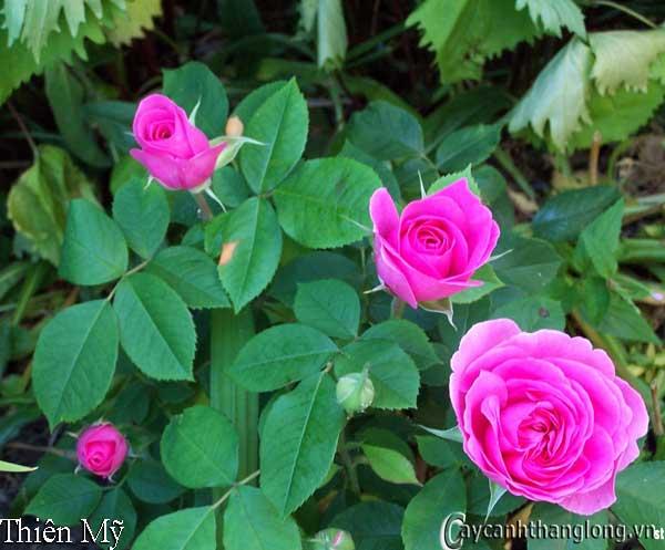 Hoa hồng leo Thiên Mỹ 40