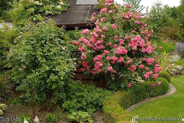 Hoa hồng leo Thúy Diễm 41