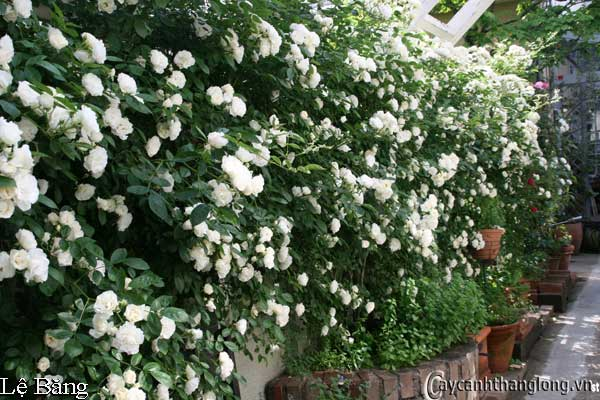 Hoa hồng leo Lệ Băng 42