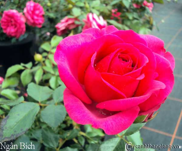 Hoa hồng leo Ngân Bích 46