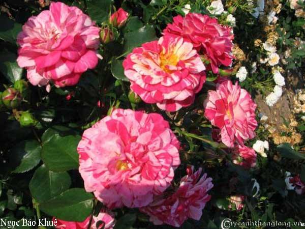 Hoa hồng leo Ngọc Bảo Khuê 49