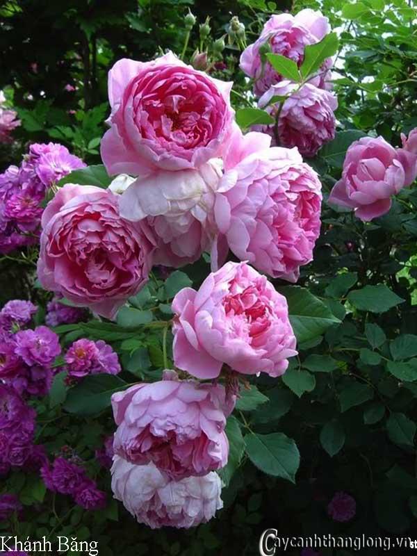 Hoa hồng leo Khánh Băng 51
