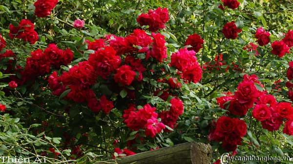 Hoa hồng leo Thiên Ái 52