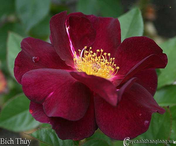 Hoa hồng leo Bích Thúy 53