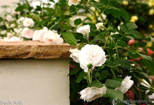 Hoa hồng leo Bạch Anh 54