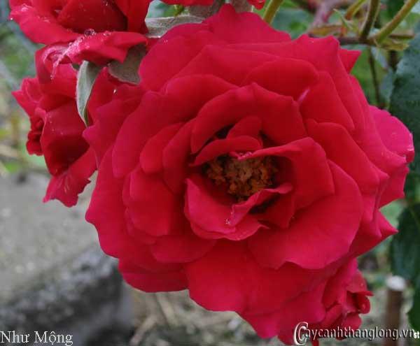 Hoa hồng leo Như Mộng 59