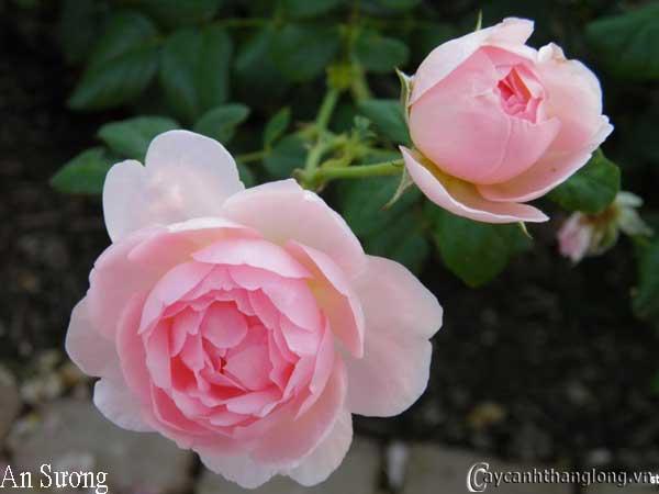 Hoa hồng leo An Sương 61