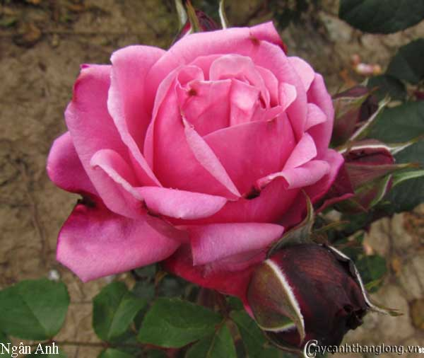 Hoa hồng leo Ngân Anh 62