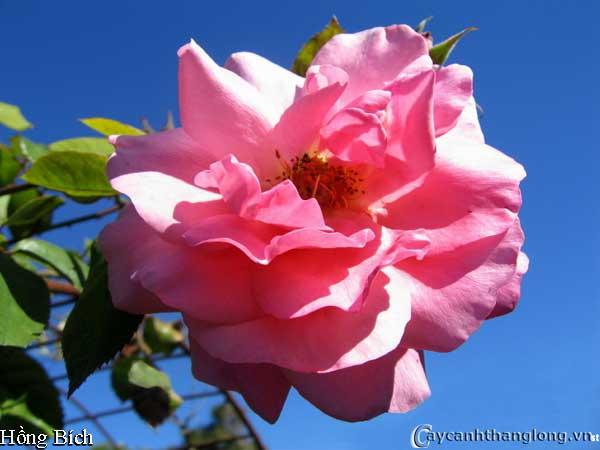 Hoa hồng leo Hồng Bích 63