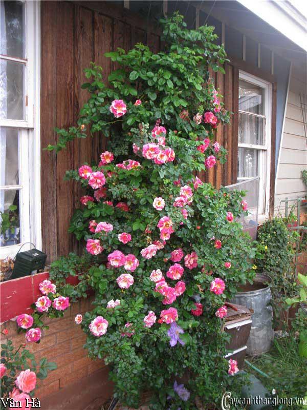 Hoa hồng leo Vân Hà 67