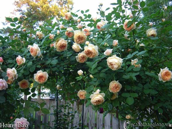Hoa hồng leo Hoàng Bảo 68