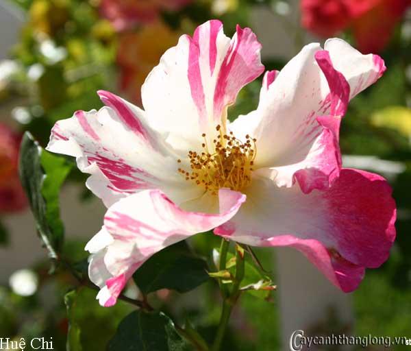 Hoa hồng leo Huệ Chi 70
