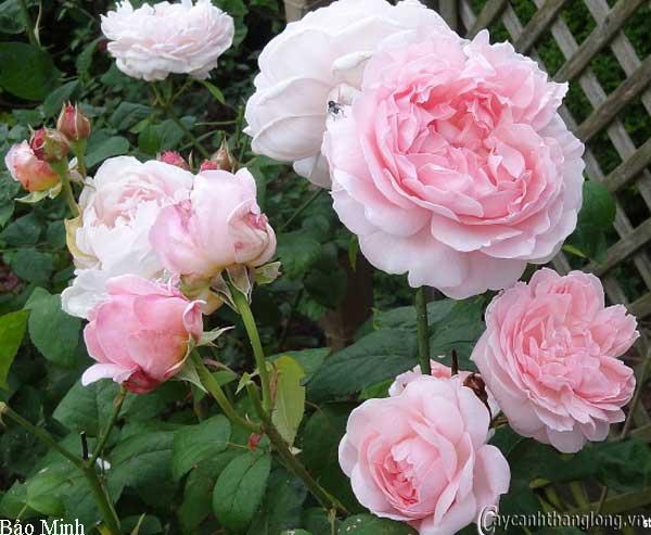 Hoa hồng leo Bảo Minh 72
