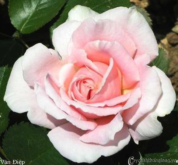 Hoa hồng leo Vân Điệp 73
