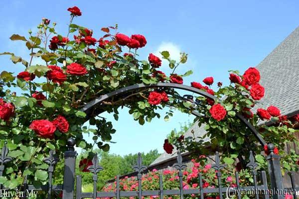 Hoa hồng leo Huyền My 74