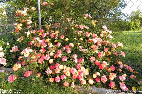 Hoa hồng leo Nguyệt Uyển 76