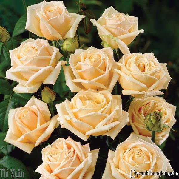 Hoa hồng leo Thi Xuân 79