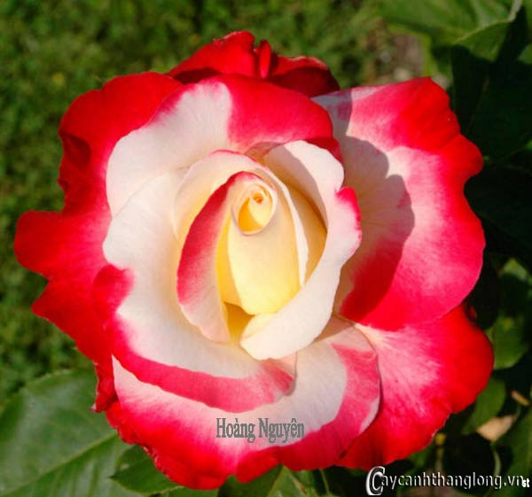 Hoa hồng leo Hoàng Nguyên 80