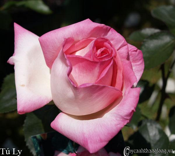 Hoa hồng leo Tú Ly 82