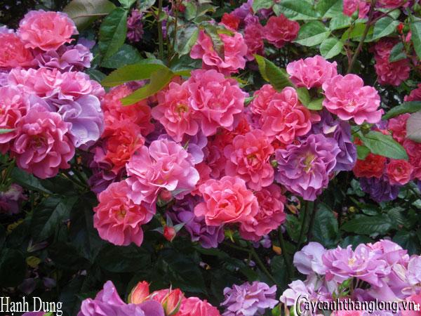 Hoa hồng leo Hạnh Dung 84