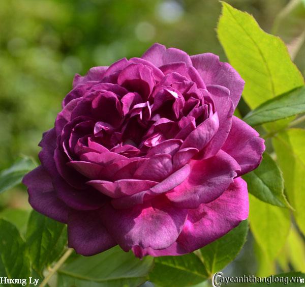 Hoa hồng leo Hương Ly 94