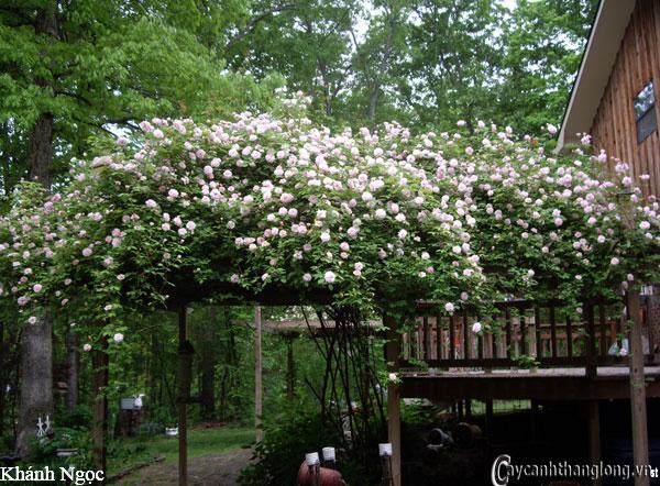 Hoa hồng leo Khánh Ngọc 95