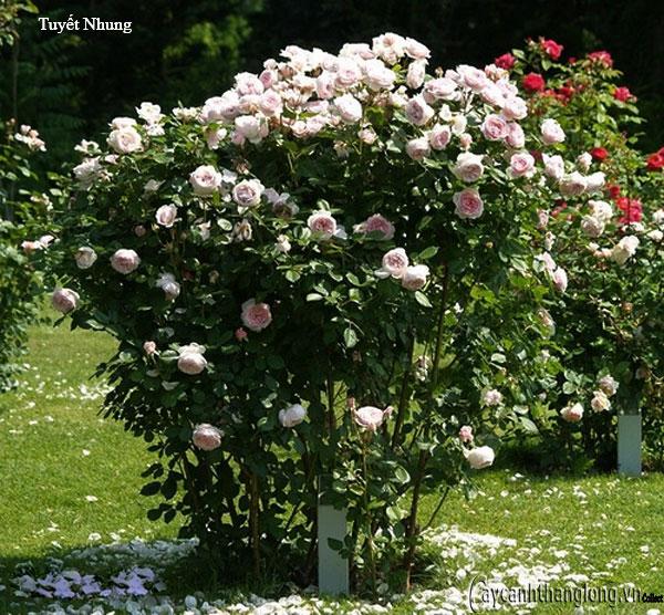 Hoa hồng leo Tuyết Nhung 100
