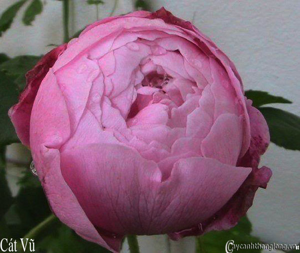 Hoa hồng leo Cát Vũ 105