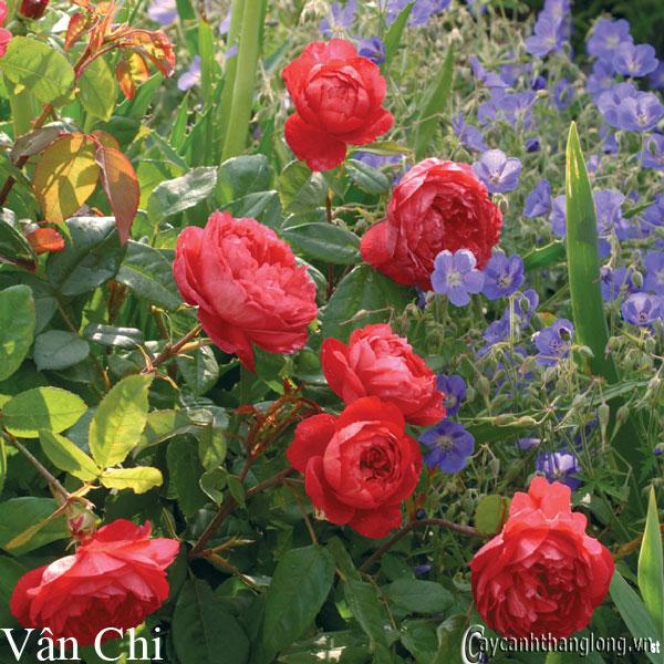 Hoa hồng leo Vân Chi 111