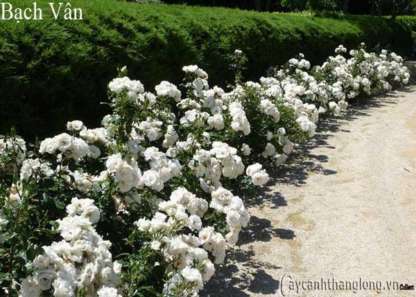 Hoa hồng leo Bạch Vân 114