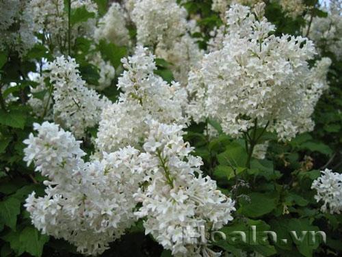 Cây hoa tử đinh hương